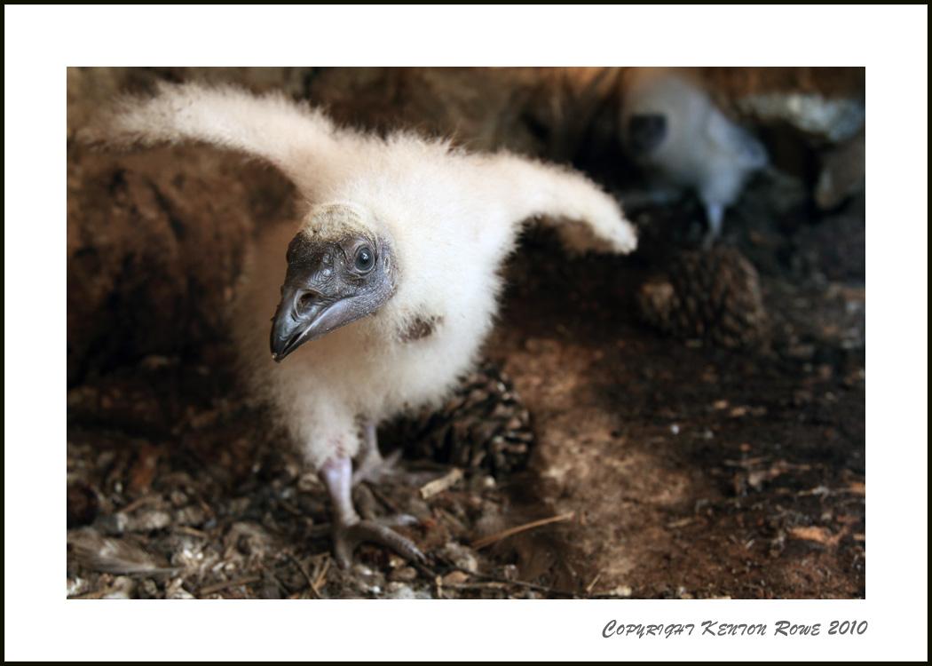 Turkey Vulture Baby